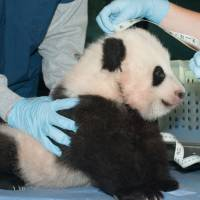 National 'treasure': Bao Bao, the Smithsonian National Zoo's 100-day-old giant panda cub, is measured on Friday. | AP