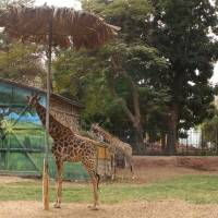 Cairo zoo beset by tales of 'giraffe suicide' and 'bear riots'