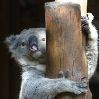 Male koalas use extra vocal cords to woo ladies