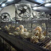 Ducks are seen in their cages at the factory, while a piece of foie gras is checked in Peyrorade, France, on Wednesday. | AP