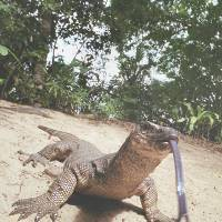 Unusual breathing: A monitor lizard flicks out its tongue as it roams around the Puerto Princesa Subterranean River National Park in Palawan island. | AFP-JIJI