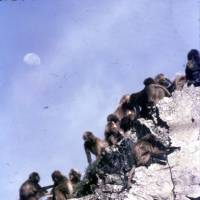 Satellite of the simians: Gelada baboons on the cliffs of a gorge in the Simien Mountains of northern Ethiopia on July 20, 1969 — the day Man first walked on the Moon that's clearly visible in the daytime sky above them. | C.W. NICOL