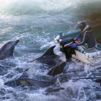 Business as usual: Dolphins are caught off Taiji,  Wakayama Prefecture, on Saturday. | SEA SHEPHERD/AP