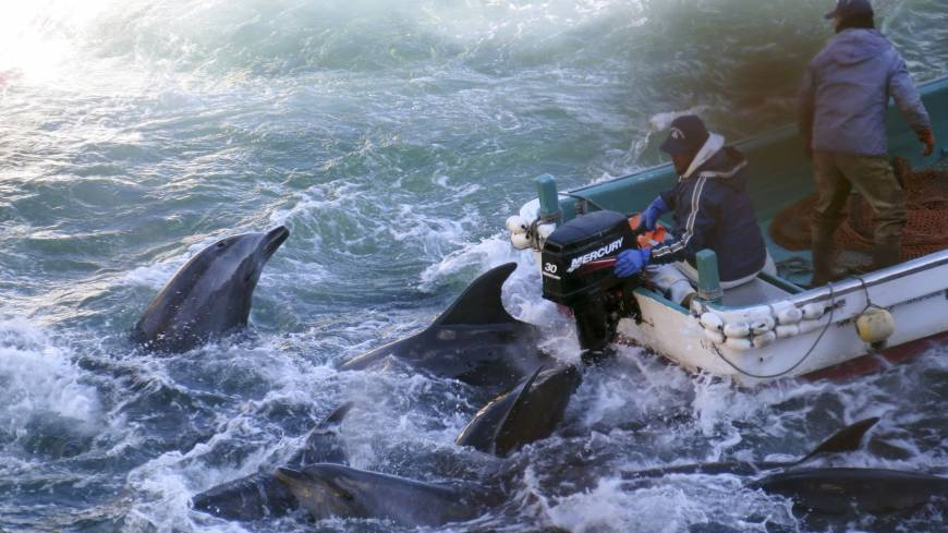 Business as usual: Dolphins are caught off Taiji, Wakayama Prefecture, on Saturday.