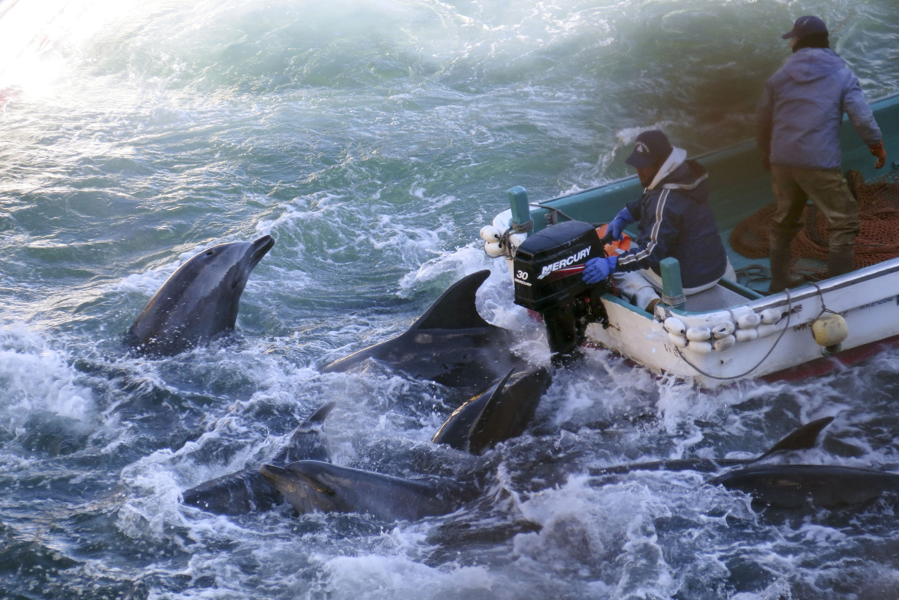 Taiji Japan  city images : Business as usual: Dolphins are caught off Taiji, Wakayama Prefecture ...