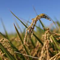Growth market: Rice grows in a paddy in Chiba Prefecture last August. | BLOOMBERG