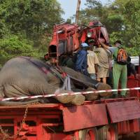 Cote d'Ivoire launches novel effort to rescue, relocate forest elephants