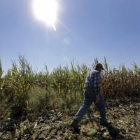 Most corn is GM: A farmer walks through one of his cornfields in Okawville, Illinois, last October. | AP