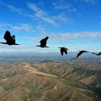 Data confirms that 'V' formation helps birds save energy