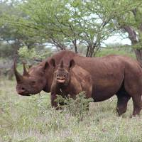 Fair game?: A male black rhino and a calf are seen in Mkuze, South Africa, in this photo released by the U.S. Fish and Wildlife Service. A permit to hunt one of the endangered animals sold for $350,000 at a Dallas auction Saturday night. | AP