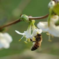 EU nations abuzz over bee decline