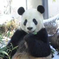 Bear necessities: A giant panda at Ueno Zoo enjoys a meal of bamboo leaves.