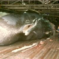 Death ahoy!: A 19.5-meter bull Sperm whale being butchered at Ayukawa, Miyagi Prefecture, in 1978. | C. W. NICOL