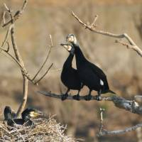 Thriving great cormorants threatening local freshwater fish
