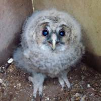 A baby Ural owl is shown in May 2012 after being hatched in a nest box set up in a restored forest in eastern Kishiwada, Osaka Prefecture. | KYODO