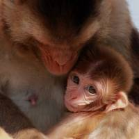 Discriminating tastes: In a study of hundreds of milk samples, researchers found that nursing rhesus macaque monkeys made different milk for daughters versus sons. | AP