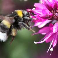 Bumblebees stung bad by honeybee sickness