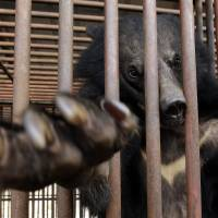 Bear farms dying in South Korea