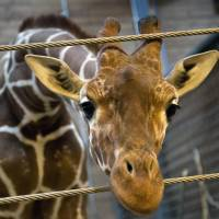 Danish zoo kills giraffe to prevent inbreeding, despite pleas to save it