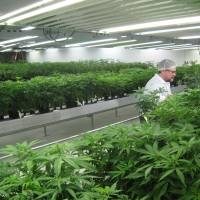 Tweed Inc. workers tend to medical marijuana plants at a new commercial operation set up inside a former Hershey's chocolate factory in Smiths Falls, Ontario, an hour's drive from Canada's capital, Ottawa. | AFP-JIJI