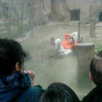 Man in China attempts to feed himself to tigers at zoo