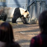 visitors watching Ri Ri, a male giant panda, in his enclosure at Ueno Zoo, which is planning to shutter its panda display in an effort to encourage the famously lethargic creatures to concentrate on mating without distractions. | AFP-JIJI