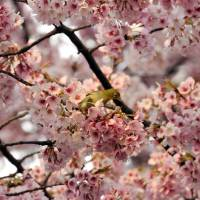A bird sits on a branch of a blooming cherry tree at a park in Tokyo on Tuesday. | AFP-JIJI
