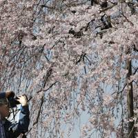 It's official: First cherry blossoms mark the start of spring