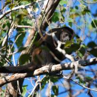 Tropical destination: A Howler monkey sits in a tree in Nosara, a scenic coastal region in Costa Rica that boasts a wide variety of outdoor recreational activities for visitors. | AP