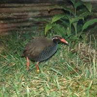 Flightless bird species coming back in Okinawa