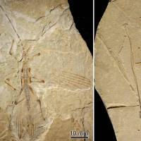 World's oldest-known stick insect, from Cretaceous, unearthed in China