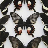 Butterfly mimics found to use just a single gene