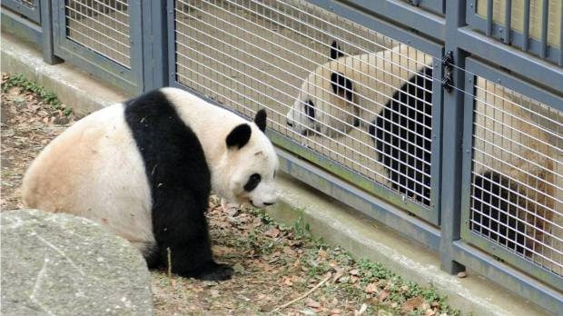 Ueno Zoo to put panda pair back on view after failed mating attempt