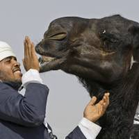 My lips are sealed: An official pats a young camel during the Mazayin Dhafra Camel Festival in Zayed City, United Arab Emirates, in December 2010. | AP