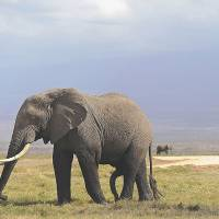 Elephants can distinguish human languages