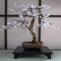 A bonsai exhibited in the collection, which is one of the largest and oldest outside Japan. | BROOKLYN BOTANIC GARDEN/AP