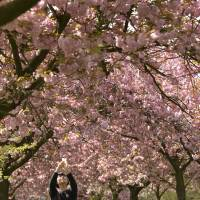 A visitor photographs the cherry blossoms in Greenwich Park, south London, on Thursday. | REUTERS