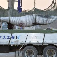 A minke whale is loaded onto a truck after its capture off the port of Ayukawa in Ishinomaki, Miyagi Prefecture, on Saturday. | KYODO