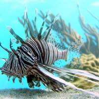 Scientists find natural predator to lionfish