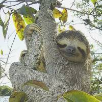 Sloth guts 'designed for hanging upside down'