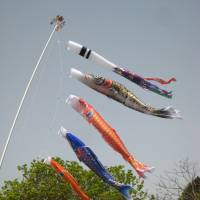 As a symbol of triumph through perseverance, koi flags are flown on Children's Day. | MARK BRAZIL PHOTO