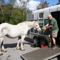 Feeding time: Doug Joiner, the chairman of British Horse Loggers, with his longtime partner Ella, a gentle gray Percheron mare who sadly died last month. The pair once serviced Britain's Royal family by delivering a Christmas tree. | C.W. NICOL