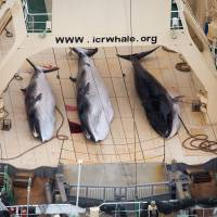 Three minke whale carcasses lie on the deck of the whaling vessel Nisshin Maru in the Southern Ocean in January. | SEA SHEPHERD AUSTRALIA / AP
