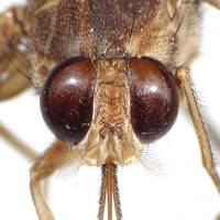 A tsetse fly from the collection at the American Museum of Natural History in New York City Tam Nguyen