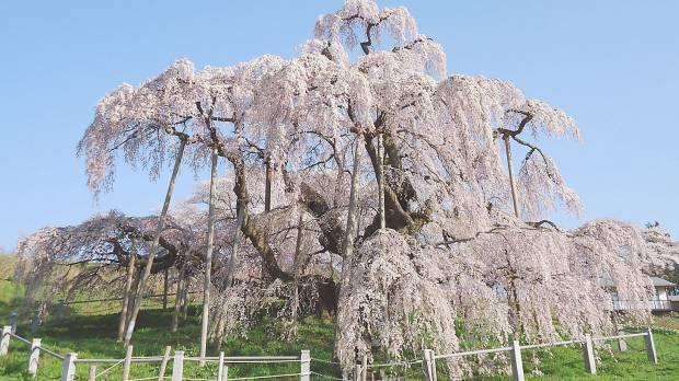 The <I>sakura</I> front sweeps across Japan