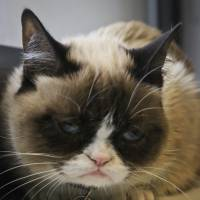 Grumpy Cat, an Internet celebrity cat whose real name is Tardar Sauce, is photographed on Friday in New York. Known for her facial expression, her owner Tabatha Bundesen says that Grumpy Cat's permanently grumpy-looking face is due to feline dwarfism. | AP