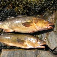 A pair of cod |  Wikimedia commons