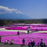 Fuji Shibazakura Festival extends prime blossom-viewing season