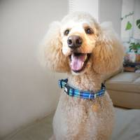 A dog named Gran: Perfect poodle