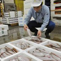 A man examines a flounder caught off the coast of Iwaki, Fukushima Prefecture, at the Tsukiji fish market Friday. The sale was the first of fare from the area since the meltdowns. | KYODO